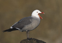 Heermann's Gull (Larus heermanni) photo