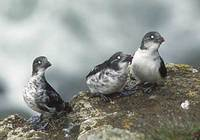 Least Auklet (Aethia pusilla) photo