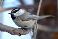 : Poecile gambeli; Mountain Chickadee