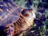 : Terrapene ornata; Ornate Box Turtle