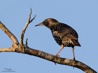 Common Starling (male) Scientific name - Sturnus vulgaris