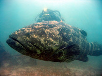 ... Goliath grouper, Black bass, Esonue grouper, Giant grouper, Goliath grouper, Meriahven, Raitame