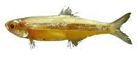 Anchoviella lepidentostole, Broadband anchovy: fisheries