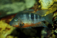 Thorichthys meeki, Firemouth cichlid: aquarium