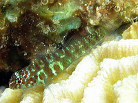 Eviota prasina, Green bubble goby:
