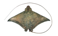 Aetomylaeus maculatus, Mottled eagle ray: fisheries