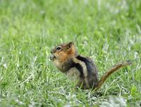 Image of: Spermophilus lateralis (golden-mantled ground squirrel)