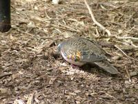 Phaps elegans - Brush Bronzewing