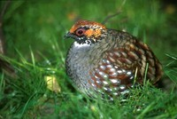 Arborophila torqueola - Common Hill Partridge