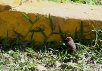 Image of: Lagonosticta rufopicta (bar-breasted firefinch)
