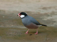 Image of: Lonchura oryzivora (Java sparrow)