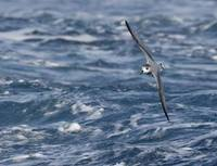 Blue Petrel (Halobaena caerulea) photo