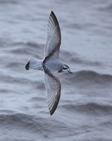 Antarctic Prion (Pachyptila desolata) photo