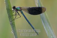 Male Banded Demoiselle ( Calopteryx splendens ) stock photo