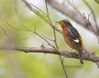 White-throated rock thrush C20D 03730.jpg