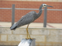 : Ardea novaehollandiae; White-faced Heron