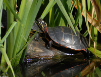 : Chrysemys picta picta; Eastern Painted Turtle