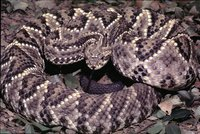 : Crotalus durissus collilineatus; Neotropical Rattlesnake