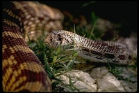 : Pituophis melanoleucus affinis; Sonora Gopher Snake