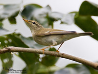Arctic Warbler Scientific name - Phylloscopus borealis