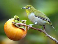 동박새 Zosterops japonicus | japanese white-eye