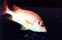 Sargocentron spiniferum, Sabre squirrelfish: fisheries, aquarium