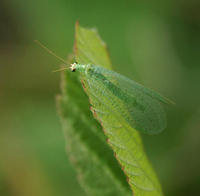 Image of: Chrysopidae (breen lacewings, common lacewings, and green lacewings)
