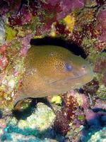Gymnothorax flavimarginatus - Leopard Moray