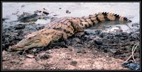 Crocodylus niloticus - Nile crocodile