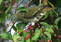 Thick-billed Green Pigeon - Treron curvirostra