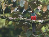 Black-tailed Trogon (Trogon melanurus) photo
