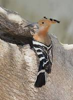 Madagascar Hoopoe (Upupa marginata) photo