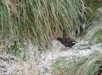 Gough Moorhen (Gallinula comeri) photo