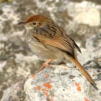 Red-headed Cisticola - Cisticola subruficapillus