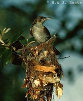 Brown-backed Honeyeater - Ramsayornis modestus