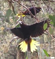 Chestnut-headed Oropendola - Psarocolius wagleri