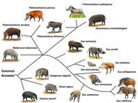 Suiforme diversity and phylogenetic relationship.