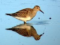 Pectoral Sandpiper. Photo by Greg Gillson