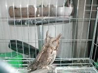 197 큰소쩍새 Collared Scops Owl