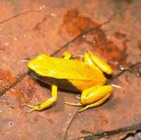 : Mantella crocea