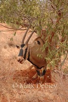 : Oryx beisa callotis; East African Oryx