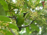 Blue-winged Leafbird(Chloropsis cochinchinensis)