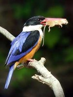 청호반새 Halcyon pileata | black-capped kingfisher