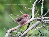 Carpodacus thura White-browed Rosefinch 白眉朱雀 123-077
