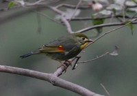 ソウシチョウ Red-billed Mesia Leiothrix lutea