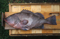 Epinephelus drummondhayi, Speckled hind: fisheries, gamefish