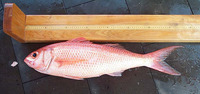 Etelis oculatus, Queen snapper: fisheries