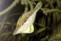 Monacanthus tuckeri, Slender filefish: