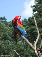 Ara chloroptera - Red-and-green Macaw