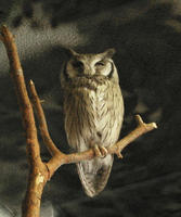 Image of: Ptilopsis leucotis (northern white-faced owl)